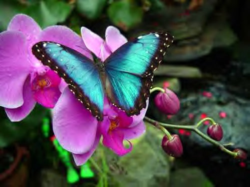 Butterfly , 7 Blue Morpho Butterfly Facts : Blue Morpho Butterfly Fact