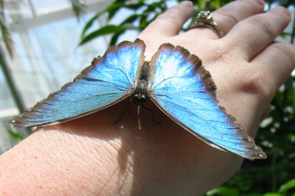blue morpho butterfly facts in Birds