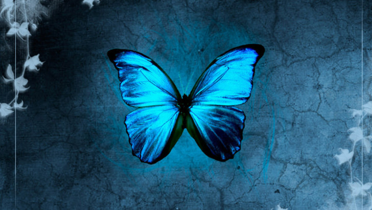 Butterfly , 6 Blue Morpho Butterfly Wallpapers : Blue Morpho Butterfly Images