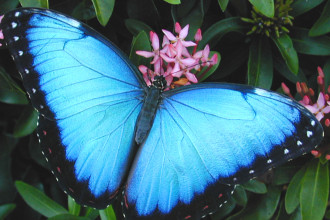 blue morpho butterfly pictures in Plants