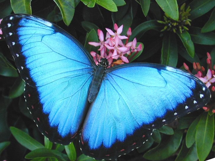 Butterfly , 7 Blue Morpho Butterfly Facts : Blue Morpho Butterfly Pictures