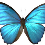 blue morpho butterfly pictures , 6 Blue Morpho Butterfly Wallpapers In Butterfly Category