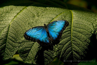 blue morpho butterfly rainforest pic 1 in Dog