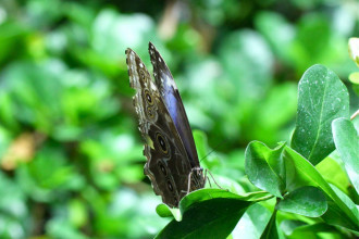 blue morpho butterfly rainforest pic 2 in Cat