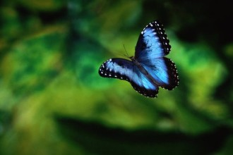 Blue Morpho Butterfly Rainforest Pic 3 , 6 Blue Morpho Butterfly Rainforest Pictures In Butterfly Category