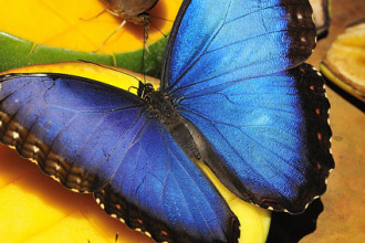 Blue Morpho Butterfly Rainforest Pic 4 , 6 Blue Morpho Butterfly Rainforest Pictures In Butterfly Category
