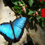 blue morpho butterfly rainforest pic 5 , 6 Blue Morpho Butterfly Rainforest Pictures In Butterfly Category