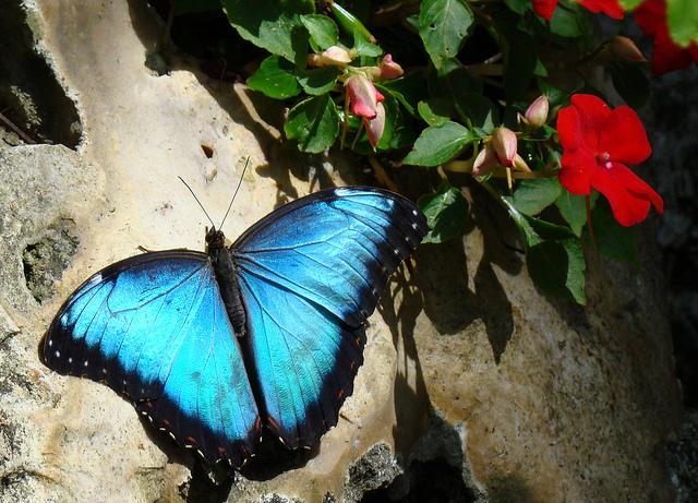 Butterfly , 6 Blue Morpho Butterfly Rainforest Pictures : Blue Morpho Butterfly Rainforest Pic 5