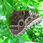 blue morpho butterfly underside wings pictures , 7 Blue Morpho Butterfly Facts In Butterfly Category