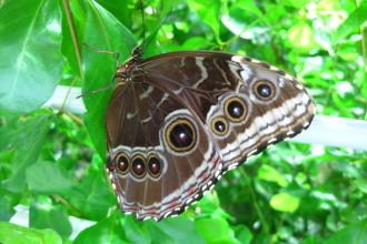 Blue Morpho Butterfly Underside Wings Pictures , 7 Blue Morpho Butterfly Facts In Butterfly Category