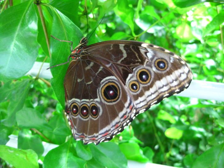 Butterfly , 7 Blue Morpho Butterfly Facts : Blue Morpho Butterfly Underside Wings Pictures