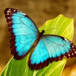 blue morpho butterfly wallpapers , 6 Blue Morpho Butterfly Wallpapers In Butterfly Category