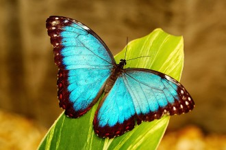 blue morpho butterfly wallpapers in Plants