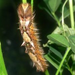 blue morpho caterpillar photos , 6 Blue Morpho Caterpillar Photos In Butterfly Category