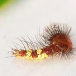 blue morpho caterpillar size , 6 Blue Morpho Caterpillar Photos In Butterfly Category