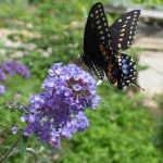 nanho blue butterfly bush pic 1 , 4 Nanho Blue Butterfly Bush Pictures In Plants Category