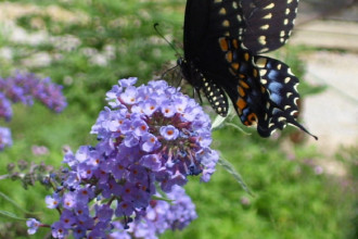 Plants , 4 Nanho Blue Butterfly Bush Pictures : nanho blue butterfly bush pic 1