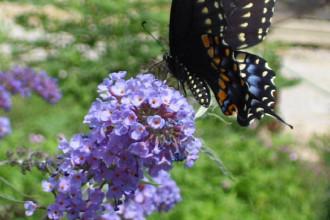 nanho blue butterfly bush pic 1 in Animal