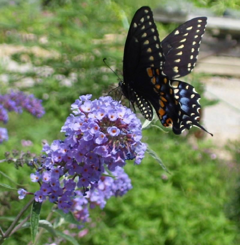 nanho blue butterfly bush pic 1