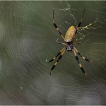 brown banana spiders , 6 Brown Banana Spiders In Spider Category