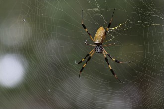 brown banana spiders in Forest