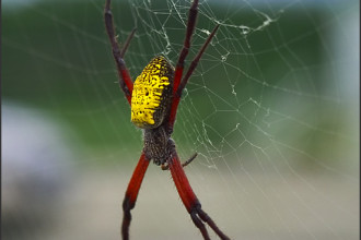 Brown Garden Spiders , 6 Brown Banana Spiders In Spider Category