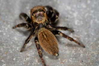 brown hairy spider in Invertebrates