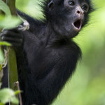 brown headed spider monkey , 7 Brown Spider Monkey In Animal Category