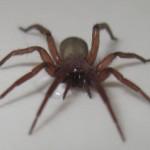 brown house spider , 10 Brown House Spider In Spider Category