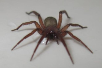 brown house spider in Isopoda