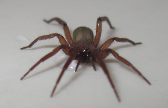 brown house spider