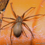 brown lacrosse spider bite pictures , 6 Brown Lacrosse Spider Pictures In Spider Category