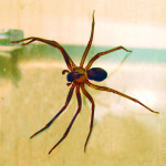 brown recluse spider pictures , 8 Brown Reclus Spider Photos In Spider Category