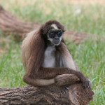 brown spider monkey , 7 Brown Spider Monkey In Animal Category