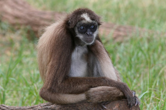 brown spider monkey in Laboratory