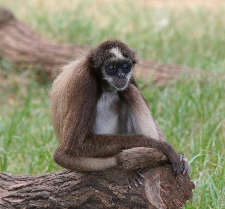 Animal , 7 Brown Spider Monkey : Brown Spider Monkey