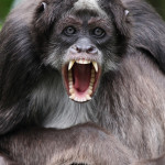 brown spider monkey behaviour , 7 Brown Spider Monkey In Animal Category