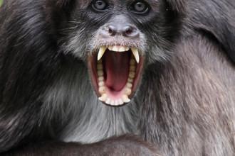 Brown Spider Monkey Behaviour , 7 Brown Spider Monkey In Animal Category