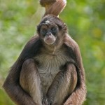 brown spider monkey facts , 7 Brown Spider Monkey In Animal Category