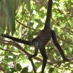 brown spider monkey habitat , 7 Brown Spider Monkey In Animal Category
