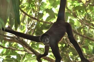 Brown Spider Monkey Habitat , 7 Brown Spider Monkey In Animal Category