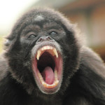brown spider monkey picture , 7 Brown Spider Monkey In Animal Category