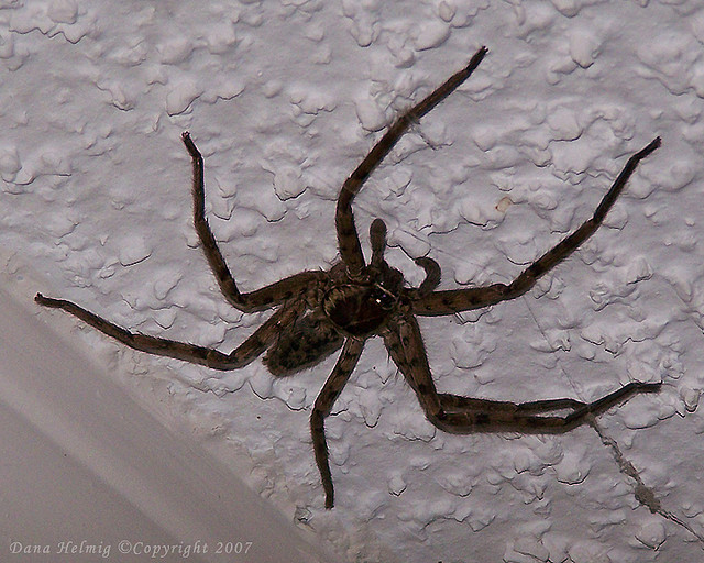 Spider , 10 Brown House Spider : Brown Spiders