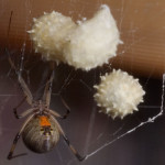 brown widow with egg sac , 9 Brown Spider Egg Photos In Spider Category