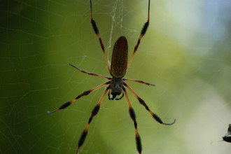 Brown Yellow Spiders , 6 Brown Banana Spiders In Spider Category