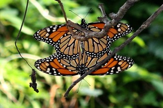 Butterflies Mating , 9 Monarch Butterfly Mating Photos In Butterfly Category