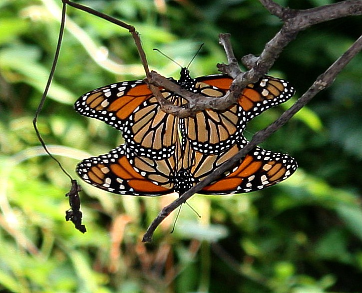 Butterfly , 9 Monarch Butterfly Mating Photos : Butterflies Mating