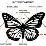 butterfly anatomy , 5 Pictures Of Monarch Butterfly Body Parts In Butterfly Category