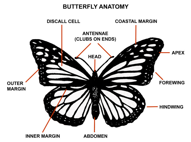 Butterfly Body Parts : Butterfly anatomy pictures of monarch body