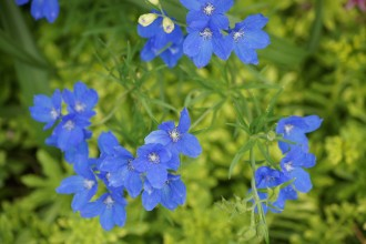 butterfly blue delphinium flowers pic 1 in Birds